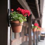 Courtyard geraniums