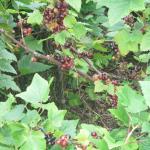 Goseberries