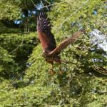 Hawkeye Falconry