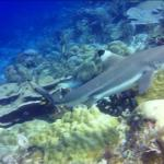 One of the many black tip sharks at Cape Kri dive spot