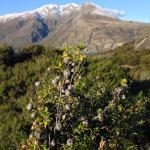 manuka plants against the mountain backdrop