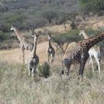 Giraffes at Tala Game Reserve.