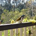 Native bird sitting on verandah railing