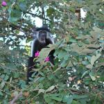 colobus apen in de tuin