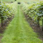 Vineyard @ Heritage Winery