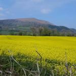 Our oil seed rape fields