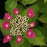 Les Hortensias du Haut Bois