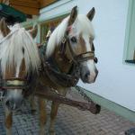 The hotel's Haflinger horses.
