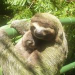 Sloth on the jungle bridge to the villa