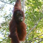 Orangutan Tanjung Puting - Day Tours