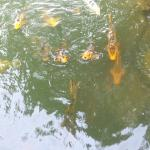 The koi are happy to see visitors to the dock