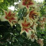 And more lilies