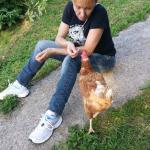 Dando de comer a una de las gallinas.