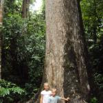 Giant rain forest trees