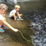 Feeding snake beans to the carp in the river