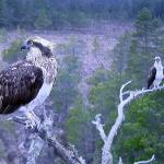 EJ and Odin, resident pair of Loch Garten ospreys for nine years.