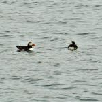 Puffins on the water
