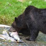 Mira, a sow, takes a bite out of a salmon