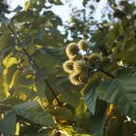 Sindoor Tree