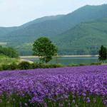 lavender against green mountain backdrop