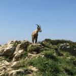 One of several Ibex I came across on the hike