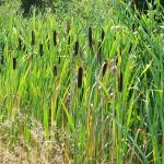 Native cattail is a versatile wetland plant and can be used for weaving, braiding and coiling.