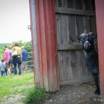Every animal has a story. Learn Simon goat's.