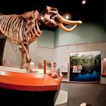 """Manny"" a Mastodon Skeleton  on display in the Museum of Florida History"