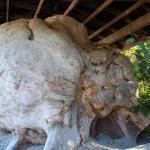 World 's largest Burl