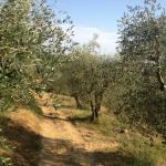 Olive trees on property