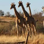 Graceful giraffes walking down the Lodge's territory