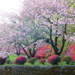 The beautiful azaleas opposite the car park