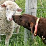 Chief and Sheep are friends