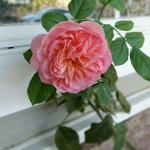 Tea rose on front porch.