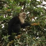 White-throated Capuchin / Mono cariblanco