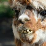 Cheesy Alpaca