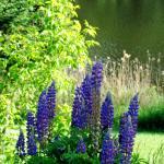 Vue fleurs et lac juin