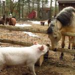 Spirit and Willow-Mia Pig...with llama's and mini's in the background.