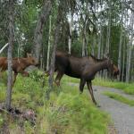 Moose in area
