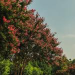 Crepe Myrtle in the parking lot