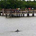 Dolphin spotted near pier at Sanibel