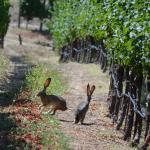 two napa hares