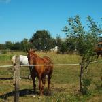 Les chevaux dans le pré derrière les chambres d'hôtes