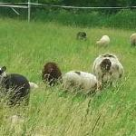 The flock grazing in pasture