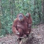 mumy and baby orang uutan in rainforest