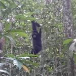 lucky sometimes you can see siamang monkey