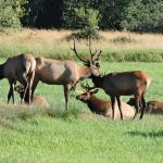 Dean Creek Elk Viewing
