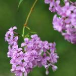 Exquisite Purple Lilacs