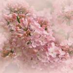 Dreamy Pink Lilacs