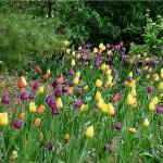 Colorful Tilips